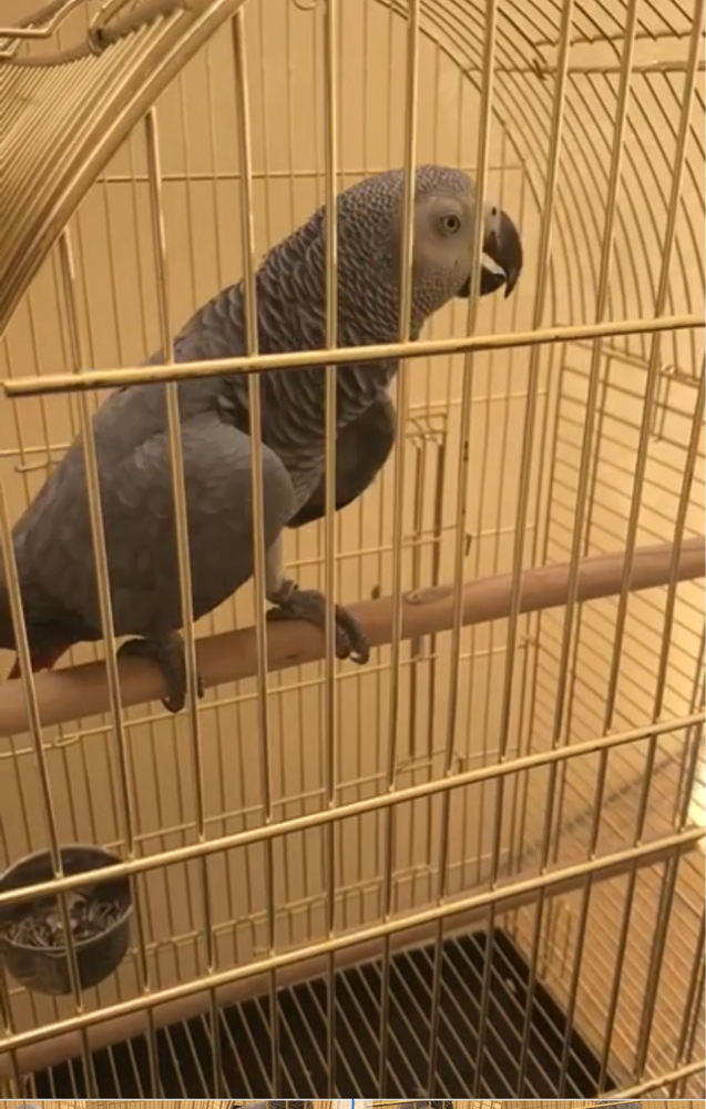 African gray lost