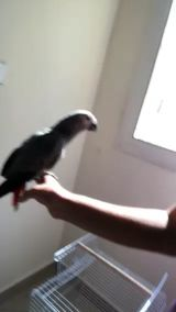 Grey parrot 4 month baby in hand