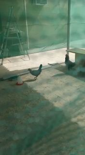 Chicken & Rooster For Sale