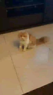 Trained 1year Male Persian Cat