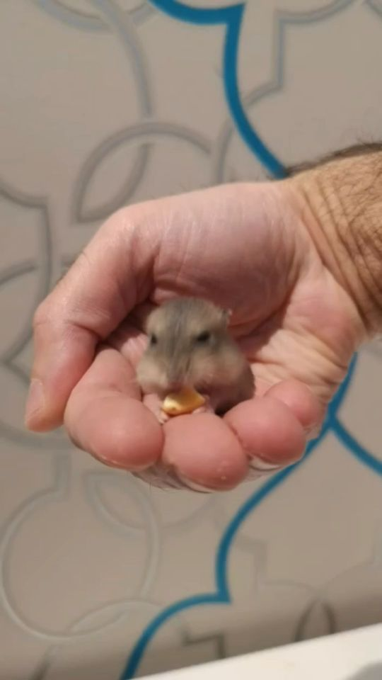 baby hamsters for sale