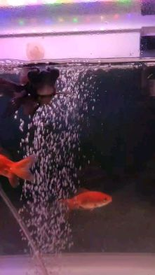 5 Gold Fish for sale