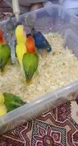 love birds fisher chicks for sale