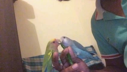 well tamed lovebirds for sale
