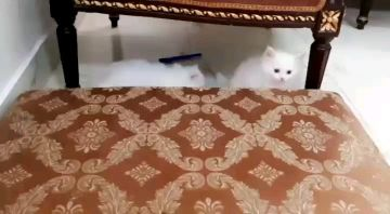 White cats Angora Turkish and French for