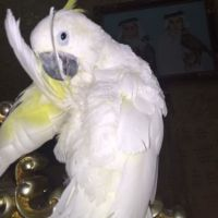 Cockatoo for sale