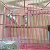 Canary white pair