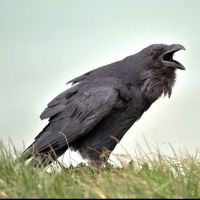 Wanted crow