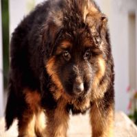 German shepherded