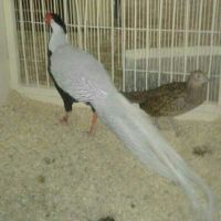 Pheasant For Sale