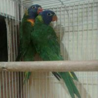 Lori Parakeet For Sale