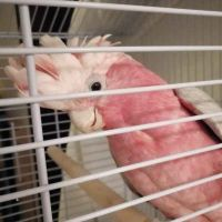 Gala Cockatoo for sale