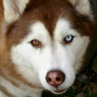 wanted male husky