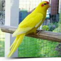 Red Crowned Parakeet