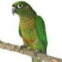 Green Cheack Conure