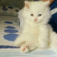 Persian mix cat for sale