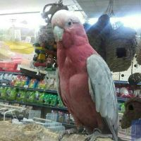 Galah Cocatoo