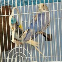 couple  of budgie for sale