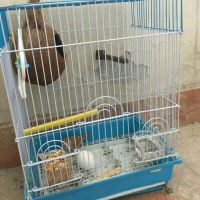 zebra couple with cage and nest for sale