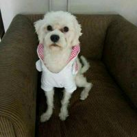 Maltese Dog Lost