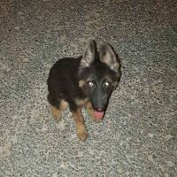 german shephard lost