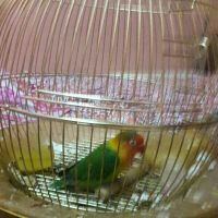 Love Bird 4 sale single with cage 600Qr