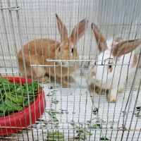 for sale 2 big rabbits with cage 200