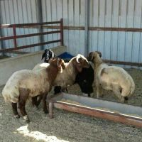 sheeps for sale