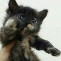45 days persian for sale