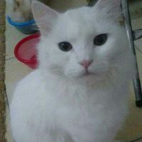 Persian female 7 months