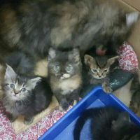 for sale persian 50 days