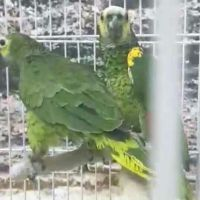 Amazon Blue fronted pair for sale