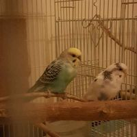 2 budgies breeding pair with cage