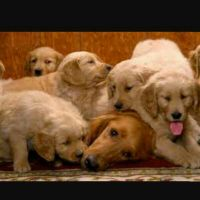 pure golden retriever puppies available