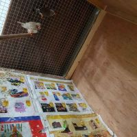 finches perfect breed pair 2 pcs forsale