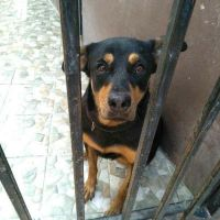female rottweiler for 2000