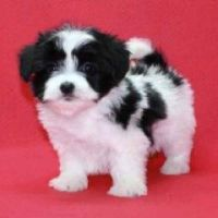 for sale maltese vaccinated