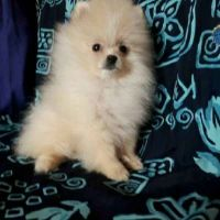 Pomeranian Dog for sale