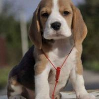 Beagle Dog for sale