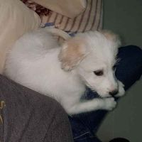 Urgent sale, Terrier Mix 4 Month old