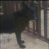 black German Shepherd for sell