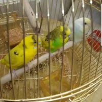 budgie 3 pcs for 90 qr without cage