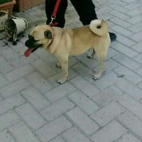 losted dog pug