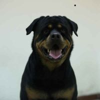 Rottweiler female to married