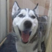 Husky Male sale