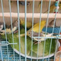 one budgie for 25 reyals