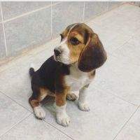 Beagle Female