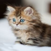 Want Brown cat