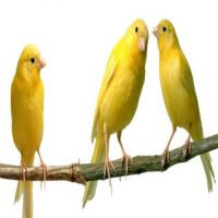 2 canaris for sale