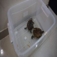 2 Turtles with box